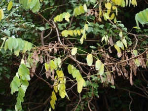Foliage on Robinia