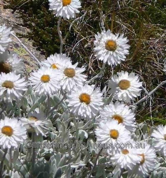 Alpine everlasting, Leucochrysum albicans