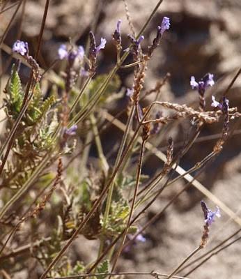 Lavandula canariensis (I think!)