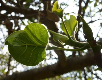 Ficus 'Krishnae', called Krishna's buttercup for the folded leaves in which Krishna held his butter
