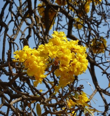 Golden bell tree, Tabebuia argentea in full bloom