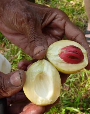 Mace and nutmeg at Abrahams Spice Garden