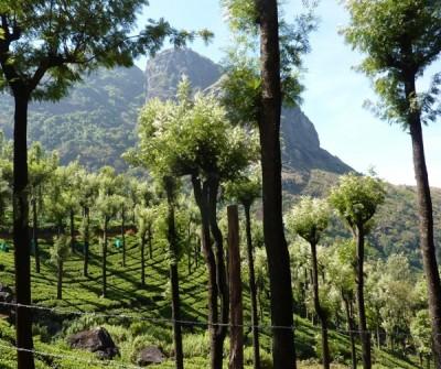 Silky oak, Grevillea robusta, shades tea plantations in Assam, northern India