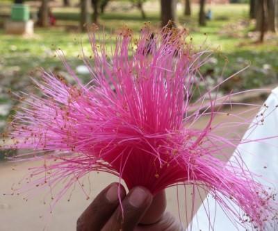 Tasselled pink flowers of the Bombax tree - Pachira insignae