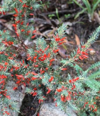 Astroloma glaucescens has firecracker-red flowers