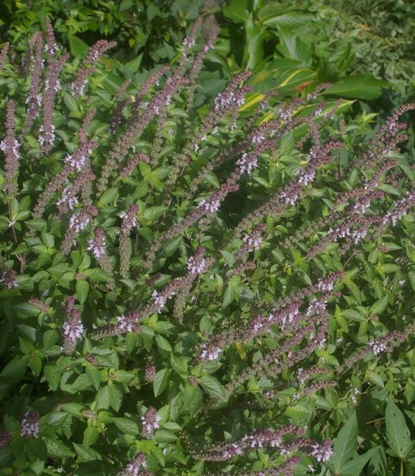 GardenDrum-Arno-King-Ocimum-African-Blue-basil