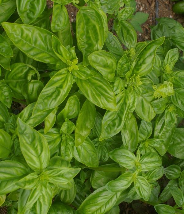 GardenDrum-Arno-King-Sweet-basil-Ocimum-basilicum