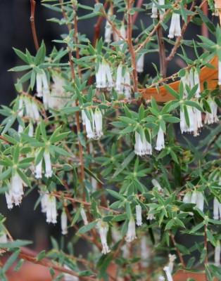 The white flowers of Leucopogon nutans hang downwards