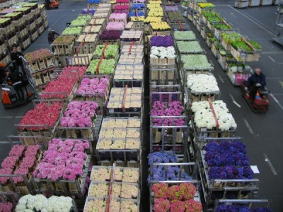 A tiny part of the Dutch Aalsmeer Flower Auction house, where 20 million flowers & 2 million pot plants are sold everyday
