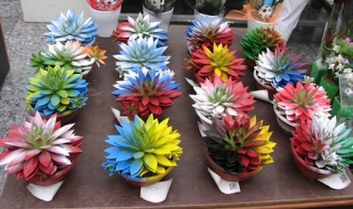 Spray-painted-Echeveria-for-sale-at-Aalsmeer.-You-be-the-judge.