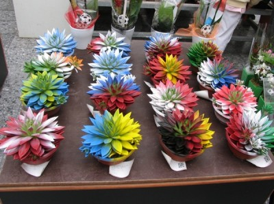 Spray-painted Echeveria for sale at Aalsmeer. You be the judge.