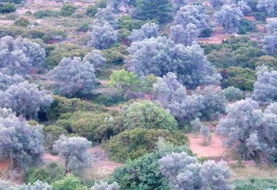 The beautiful Ionian landscape with grey-green olives and mastic (Pistacia lentiscus)