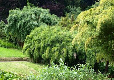 Bamboo at Trebah Garden
