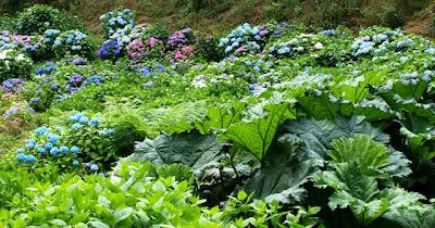 Beautiful big-leaf Hydrangea flowers