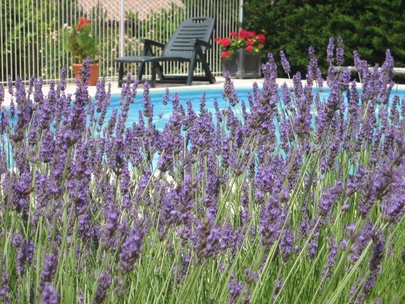 Deep purple lavendar contrasts with brilliant red Pelargonium and the blue of the pool