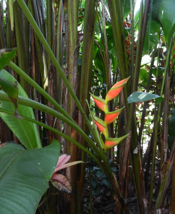 One of the many beautiful heliconias in the garden, which was full of beautiful flowers. Heliconia orthotricha