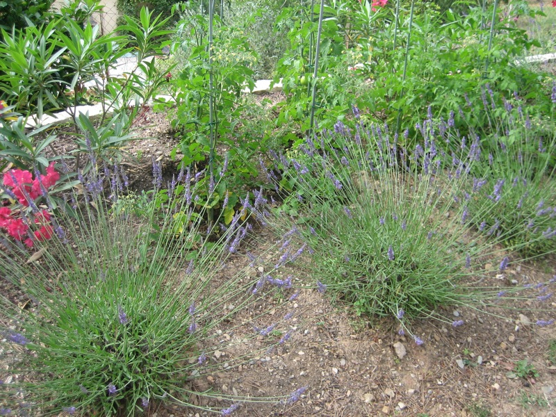 Tomato plants and lavendar combine the edible with the ornamental