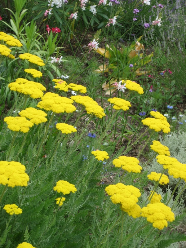Vibrant yellow Achillea in the cottage garden