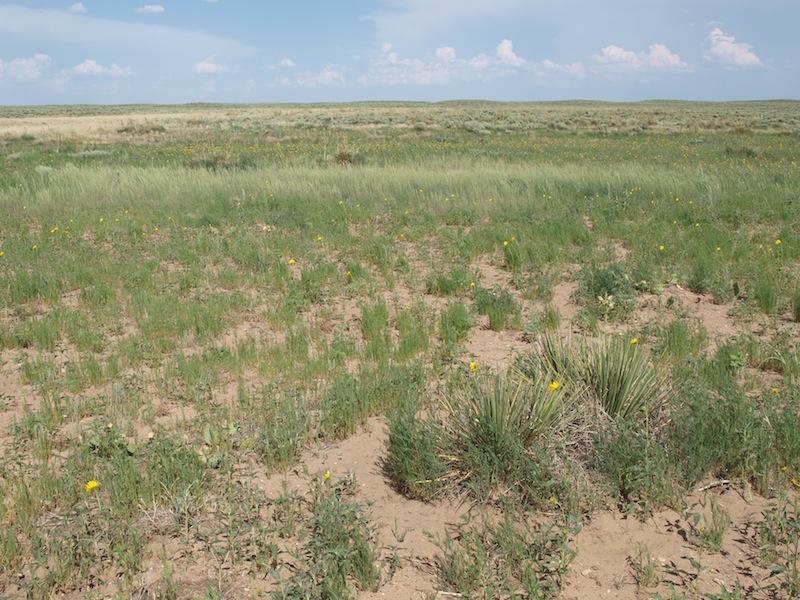 Cimarron grassland
