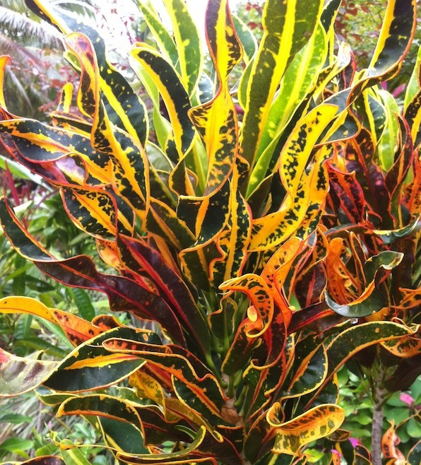 Colourful crotons