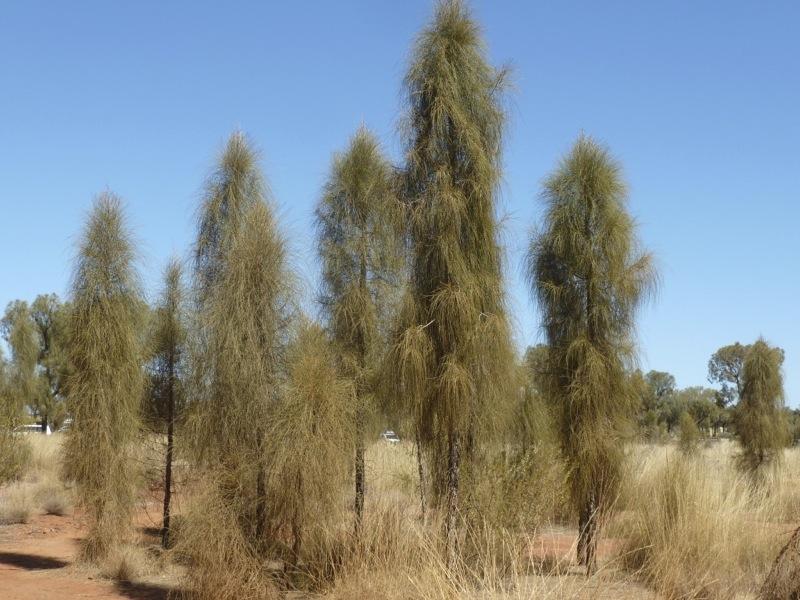 Desert Oak Allocasuarina decaisneana