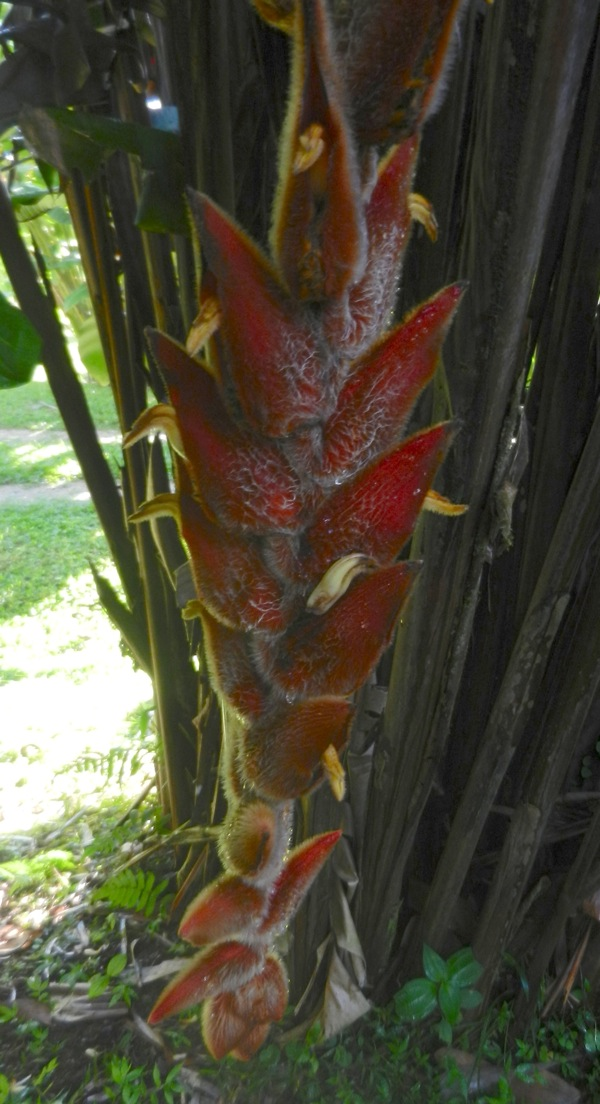 Heliconia vellerigera, another interesting furry pendular heliconia - very variable in both colour & the amount of fur!