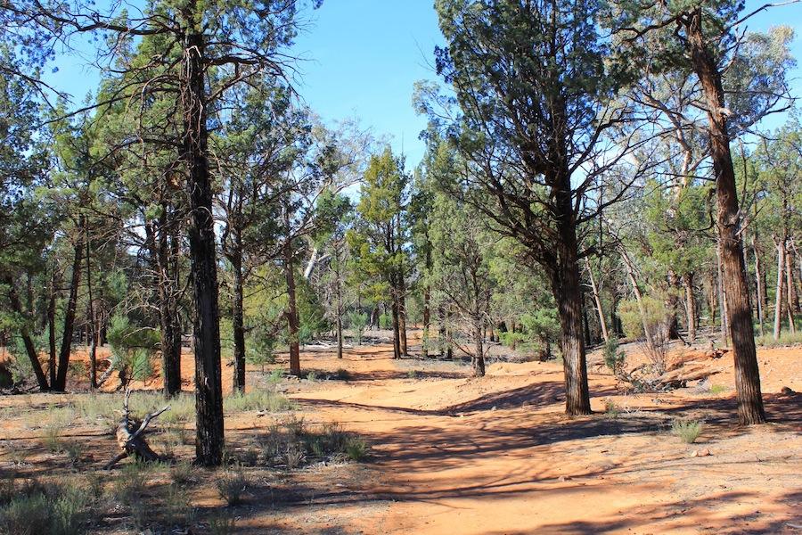 Wilpena Pound Callitris forest