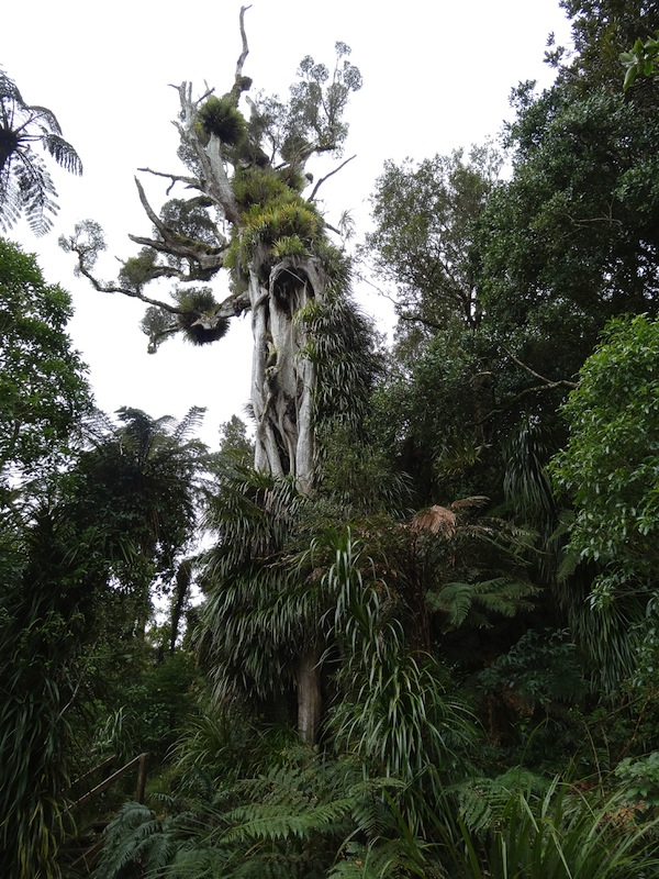 800 years old rata