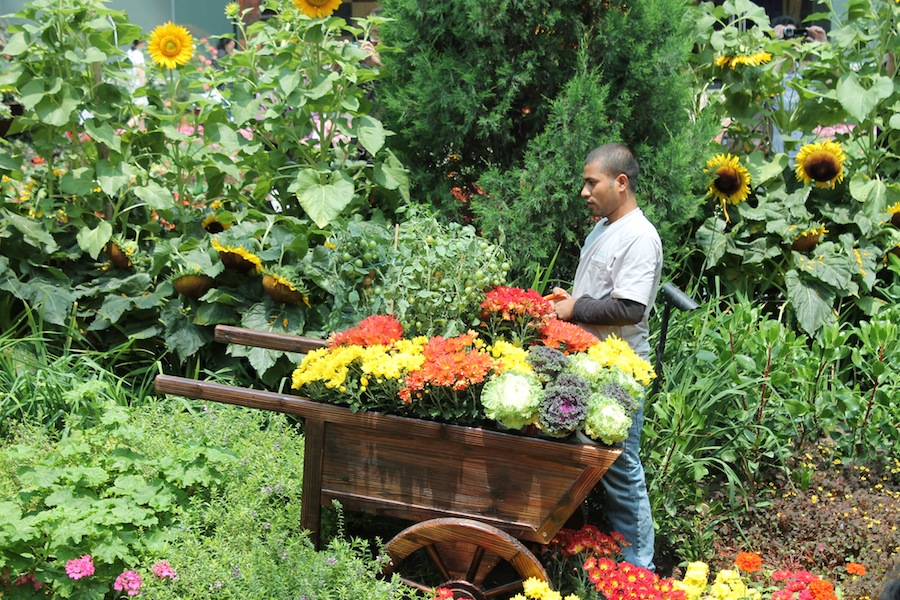 A gardener attends a tomato bush in the Autumn Harvest display