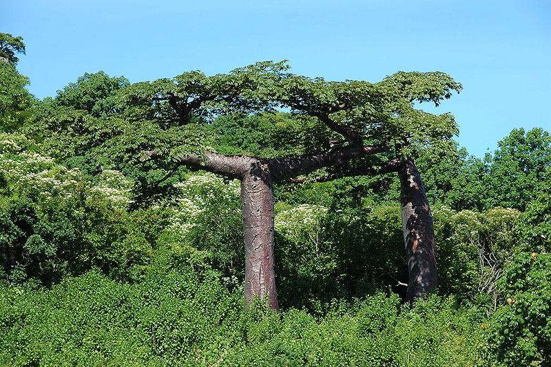 Adansonia suarezensis