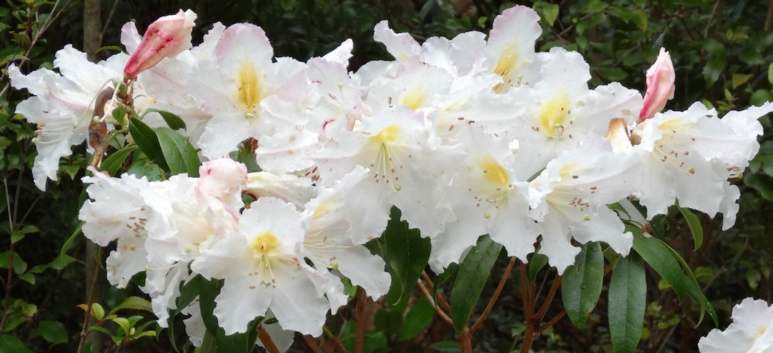 Rhododendron 'Charisma'