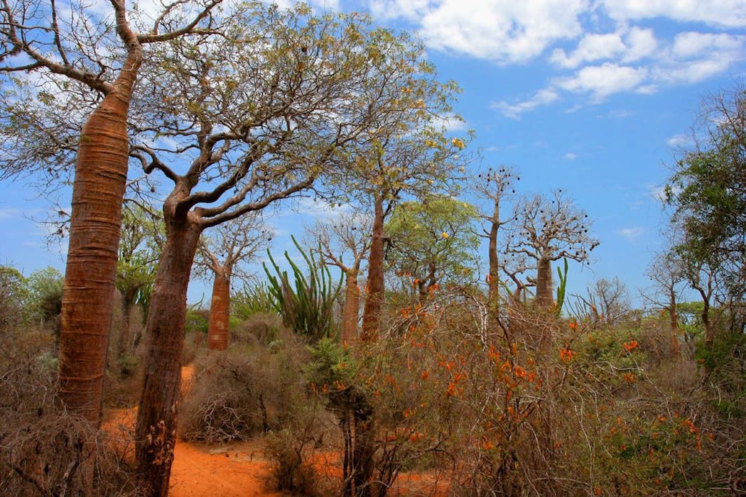 Spiny forest with baobabs, Ifaty, Madagascar