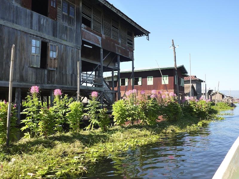 Floating Cleome garden!