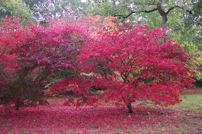Over 2,000 specimens of maples of which they are over 300 Japanese maple cultivars