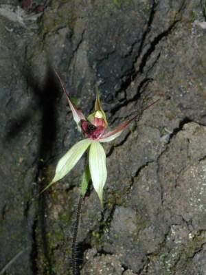 Spider orchid - Caladenia