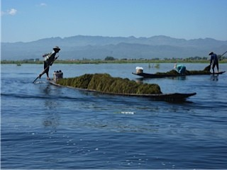 Water weed being harvested on Inle Lake