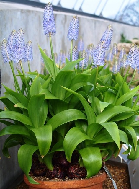 Lush foliage and upright flowers of Scilla madeirensis