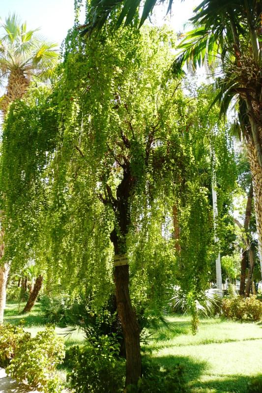 Bauhinia hookeri - Aswan