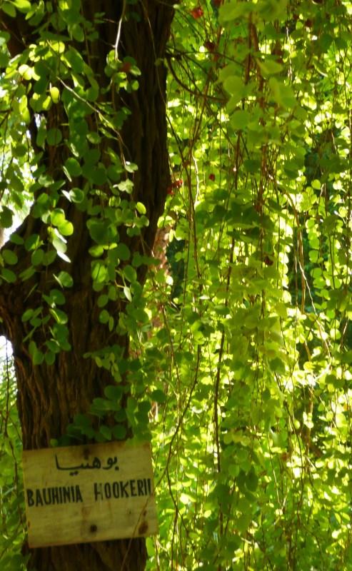 Bauhinia hookeri foliage - 2009 Aswan