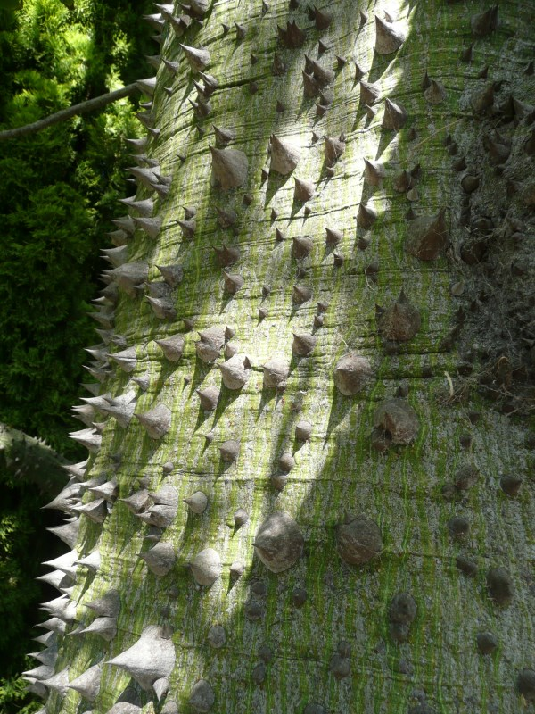 Chorisia speciosa thorny trunk