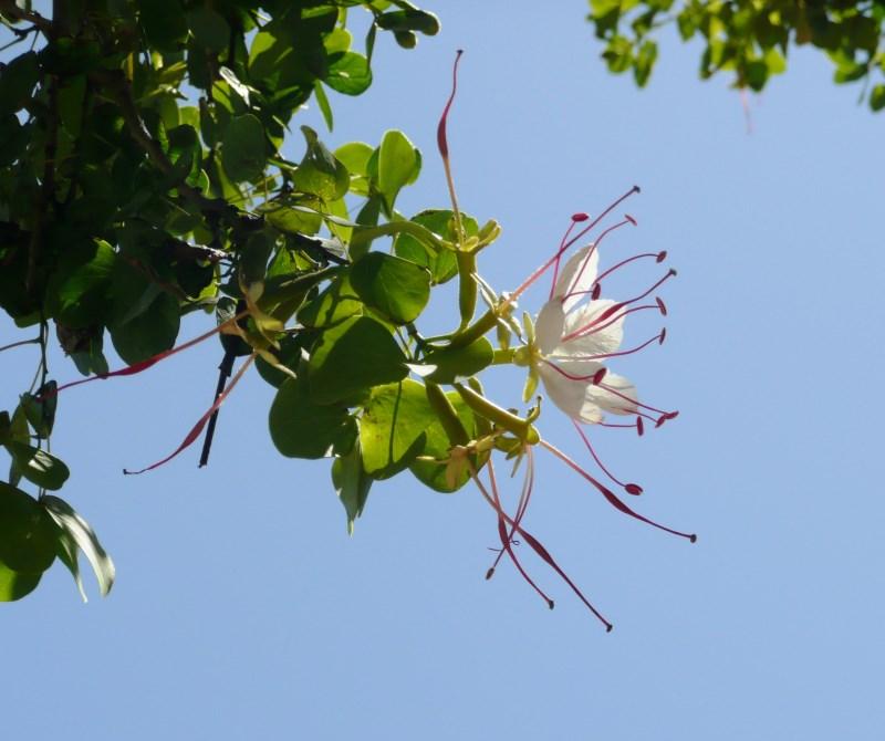 Lysiphyllum hookeri flower