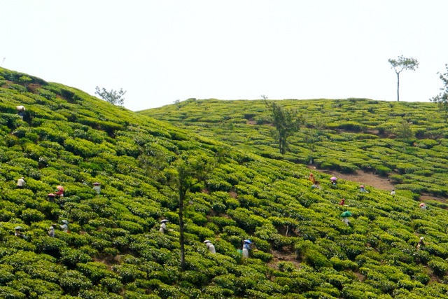 Tea pickers in Kerala today