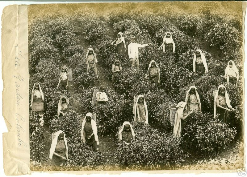 Tea pickers in the 1880s