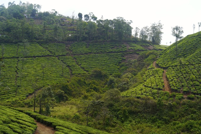 Tea plantation near Thekkady, Kerala