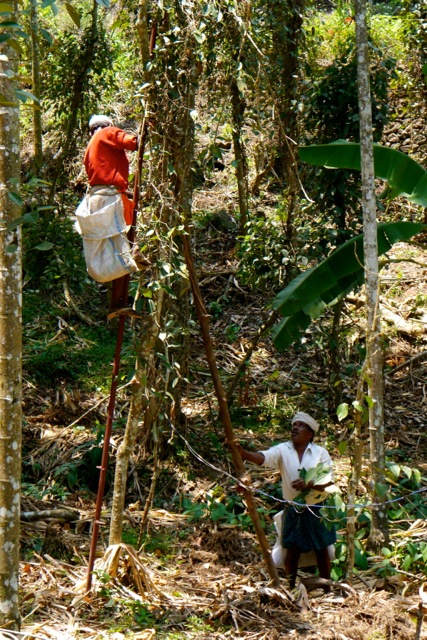 Workers harvesting black peppercorns, which grow on the vine Piper nigrum