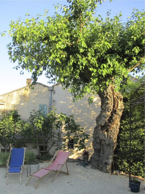A mulberry tree planted in the 17th century, Provence