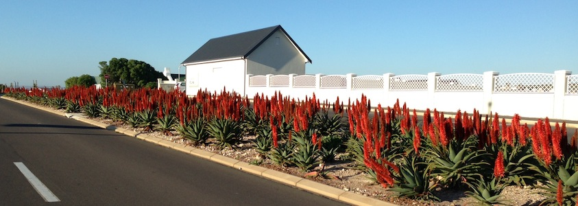 Aloes alongside roads