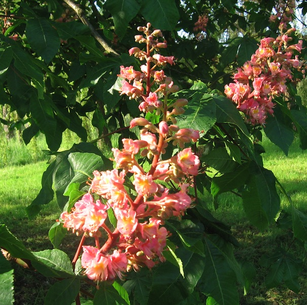 Horse chestnut in the lower field
