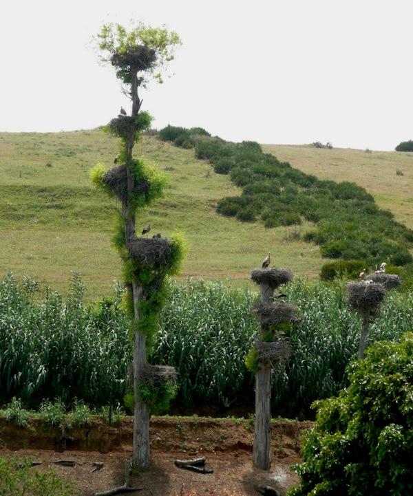 Storks nesting on denuded trees