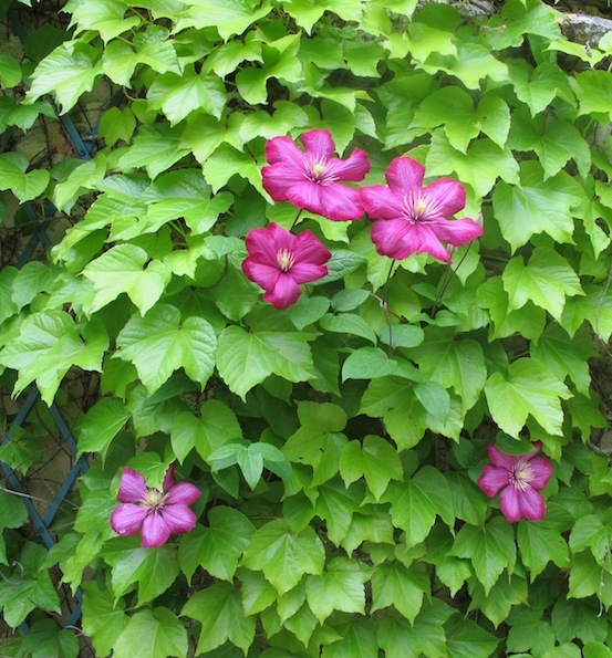 Vivid clematis growing through Boston ivy